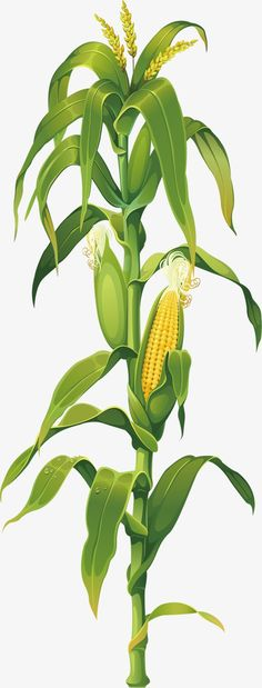 The North Ridgeville Corn Festival August - Free Admission, Free Entertainment, Free Fireworks, Free Grande Parade and of Vendors Corn Drawing, Plant Drawing, Green Leaves, Plant Leaves, Corn Stalks, Corn Plant, Garden Labels, Champs, Gardens