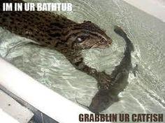 Die 18 Besten Bilder Von Fischkatze Prionailurus Viverrinus