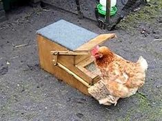 Building A Treadle Chicken Feeder Keep pests away from your chicken's food with this amazingly ingenious feeder! Cheap Chicken Coops, Portable Chicken Coop, Best Chicken Coop, Building A Chicken Coop, Chicken Runs, Automatic Chicken Feeder, Potager Palettes, Chicken Feeders, Chicken Tractors