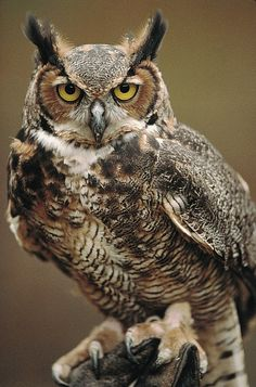 Great Horned Owl - upper thigh (BW)