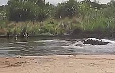 A squeee hippo jumping in the water!