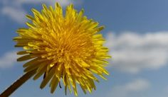 11 Health Benefits of Dandelion and Dandelion Root 4.50/5 (90.07%) 147 votes Dandelion is most often thought of as a pesky weed that takes over in lawns, gardens, meadows, and even pops up in cracked sidewalks and pavement. It is invasive and pervasive. Lucky for us, it is also an excellent food and herbal medicineRead moreView comments (68)