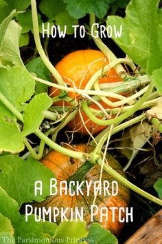 How to Grow a Backyard Pumpkin Patch >>>> Pumpkins come in all shapes, sizes, and colors.  You can go really huge or itty bitty.  In my garden this year, I've got a couple hills of the 'Trick or Treat' variety, which, if you hadn't guessed, is ideal for jack-o'-lanterns (remember, I'm bound and determined this year!).  My third hill of pumpkins (that I just planted on Saturday) are the 'Small Sugar' variety.  So what should you use?   Here are some popular choices: