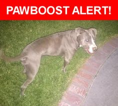 Is this your lost pet? Found in Grand Terrace, CA 92313. Please spread the word so we can find the owner!  Blue nose Pitt grey and white  Nearest Address: Near Observation Dr & de Berry St
