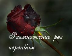 Розы, размножение черенками