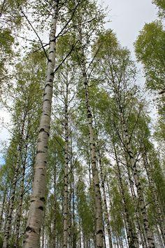 Koivikko, summer forest birch