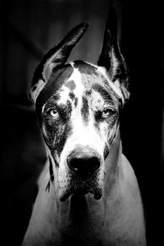 sitting pretty #greatdane #dogportrait