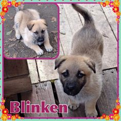My name is Blinken and I'm one of three adventurous German Shepherd mixes that wandered through woods and fields to find us at the mom of a K-9 Angel foster. Lucky us that Mary brought us in to the program. I'm a feisty girl, always looking for mischief. I play well with my brother and sister, but my foster brother is a grouchy old man when I try to figure him out. I am about 8 weeks old and now weigh 12 lbs. I love to eat, rough house and sleep. I'm doing good on going outside to potty and…
