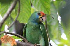 Foto chauá (Amazona rhodocorytha) por Mathias Singer