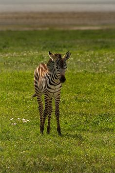 Zebra foal - A zebra foal in Ngorongoro Crater, Tanzania.