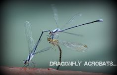 dragonflies...absolutely amazing