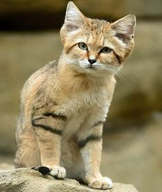 🔥 Sand cats: They live in africa and are incredibly hard to find, because they don't leave foot prints in the sand and close their eyes when being shined on with a (flash)light, so their eyes won't reflect. They are very small and painfully cute! Animals And Pets, Baby Animals, Cute Animals, Beautiful Cats, Animals Beautiful, Felis Margarita, Wild Cat Species, Small Wild Cats, Sand Cat