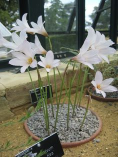 Habranthus martinezii - plant of the month August 2011 - Plant Portraits - Alpine Garden Society