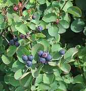 Amelanchier alnifolia - Wikipedia, the free encyclopedia.  I'm hearing good things about this in Plants for a Future -- so another possible fruit to play with.  May be hardier than blueberries for us.