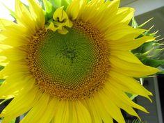 My favorite. I love sunflowers.