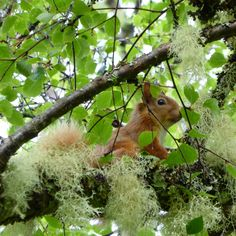 Red squirrel at Saddle Mountain Hostel