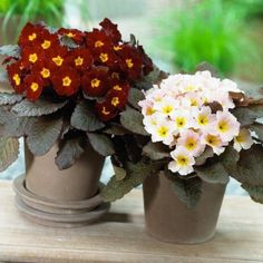 Move over shamrocks, here come the Irish primroses Rockery Garden, Alpine Garden, Buy Christmas Tree, Garden Cafe, Primroses, Garden Show, Perfect Plants, Trees To Plant, Garden Furniture
