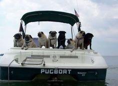 Pugs..... <3 Pugs..... :)  Pugs.....
