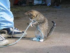 紐踏んでいるにゃー on Twitpic #neko #cat