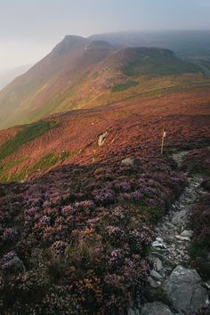 archatlas:      Isle of Man Purple Heather Bloom Mikael Buck