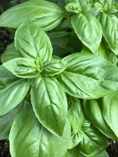 Have you started harvesting your Basil yet? Harvesting is super easy just by pinching off the top ends of a branch. Most Basil like our AAS Winner Dolce Fresca will quickly regrow shoots to produce more branches full of aromatic leaves all season long until frost.  Bred by PanAmerican Seed Garden Rooms Uk, Pesto Dishes, Grow Your Own Food, Cool Plants, Unique Recipes, How To Cook Pasta, Fresh Herbs, Garden Planning, Garden Inspiration