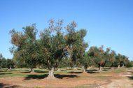 Xylella: la crisi degli olivi salentini tra scienza e complottismi - Le Scienze