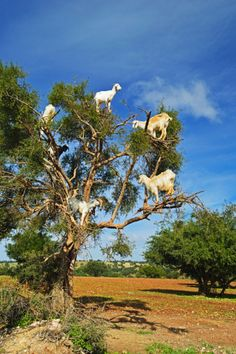 Goats on tree, Morocco, North Africa, Africa @clairebearclaw