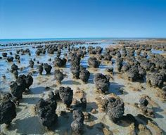 Come face-to-face with the oldest living fossils known to man, with a visit to Hamelin Pool Stromatolites in the Shark Bay World Heritage Area. It's one of only two places on the planet where these rare organisms occur, with Hamelin Pool considered to be the most diverse and abundant example.  A 30 minute drive south of Denham and a stroll along the 200 metre boardwalk will give you a fascinating glimpse into how early life evolved over 3,500 million years ago. To get to Denham, you can…