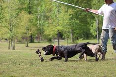 A flirt pole is a fun and great way to exercise your dog! Learn how to make a flirt pole with just a pole, a string, a chew toy, and other household items. Pitbull Training, Dog Enrichment, Border Collie, No Equipment Workout, Dog Owners, Dog Toys, Bullying, Puppy Love, Flirting