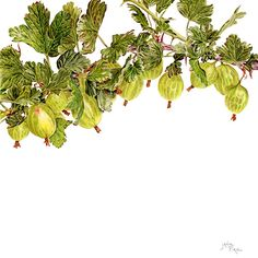 Gooseberries by Janie Pirie - coloured pencil drawing. A combination of two of my favourite things: gooseberries and coloured pencil.