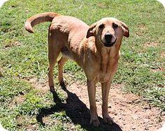 Golden retriever adoption ny