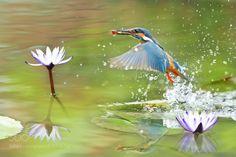Hunting in Motion - Kingfisher (Alcedines) 翠鳥