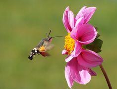 Hummingbird Hawk Moth, Vlinder, Kolibrie, Zwaluwstaart