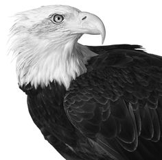 Susan Middleton - Haliaeetus leucocephalus; Bald Eagle, Photographed: 8/16/1990; San Francisco Zoological Gardens, San Francisco, California Black and white silver gelatin print. Learn more about Susan and the various pieces featured in Ambassador Berry's @ArtInEmbassies collection: http://youtu.be/K4T3YLDWriY #Art #Wildlife #Conservation