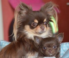 Chocolate mother and puppy chihuahua. I loooove that ear hair! Chihuahua Puppies, Cute Puppies, Cute Dogs, Dogs And Puppies, Doggies, Cute Baby Animals, Funny Animals, Chi Dog, Beautiful Dogs