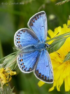 ~Common Blue Butterfly~
