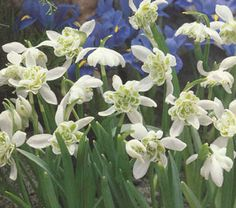 Double Snowdrops in the green - Galanthus Flore Plena bulbs