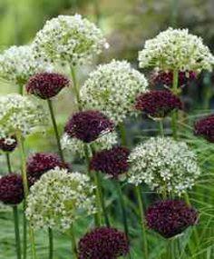 Alliums are beautiful!