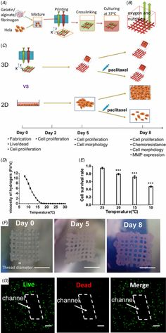 Fabrication of 3D Hela/hydrogel constructs. (A) Schematic of the 3D cell printing process. (B) The design of the 3D Hela/hydrogel constructs...