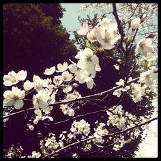 sakura at Hibiya