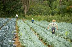 Amish Farm / Organic Valley