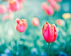 tulips photography flower botanical wall decor by mylittlepixels