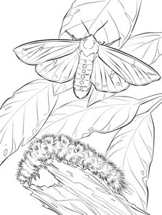 woolly bear moth and caterpillar coloring page