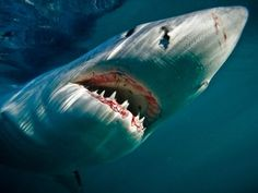 Great White Shark    Photograph by David Caravias
