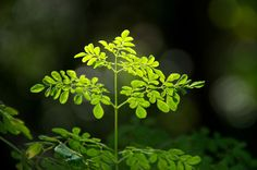 Moringa Oliferia, The Tree of Life. One of the Worlds most abundant sources of natural vitamins and minerals