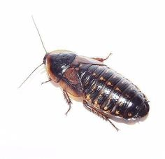 The Dubia Roach are a live bearing roach species that cannot climb glass or smooth plastic. Being poor climbers, they are much easier to work with. http://wu.to/8kTRgK