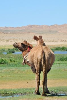 Getting back towards Bayangovi, there is a small river where camels assemble to drink and graze. Animals Of The World, Animals And Pets, Cute Animals, Bactrian Camel, Desert Animals, Llama Alpaca, Leopards, Mongolia, My Animal