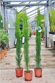 Cupressus Sempervirens, Home Decor Inspiration, Cactus Plants, Patio, Ground Cover Plants, Shade Perennials, Cypress Trees, Potting Soil, Potted Plants
