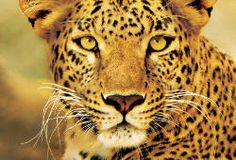 South Africa Safari for Lovers - 2nd person 1/2 price, 9 days from Cape Town to Kruger Park taylormadetravel142@gmail.com - Gmail call 828-475-6227
