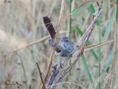 Juvenile Nightingale, juvenil de Ruiseñor común (Luscinia megarhynchos)